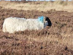 Skutecznie chroni środowisko przyrodnicze, jednocześnie będąc niemałą atrakcją turystyczną. Wypas owiec to mimo wszystko bardzo wymagające zajęcie, praca tylko na kilkanaście tygodni w całym roku, więc coraz mniej baców i juhasów pojawia się w tym fachu. Zazwyczaj wypas odbywa się od maja do października.