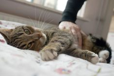 The symptoms of stress in cats range from behaviour such as spraying, to over-grooming and scratching. Our practical tips help reduce stress and anxiety. How To Cure Anxiety, Anxiety Tips, Stress And Anxiety, Acute Stress, Stress Symptoms, Anxiety Relief, Stress Relief, Ways To Relieve Stress, Effects Of Stress