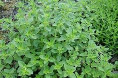 #Oregano: One of the World's Healthiest #Foods