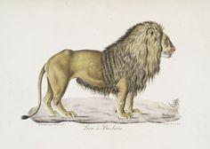 [Carnivores]  Lion de Barbarie.