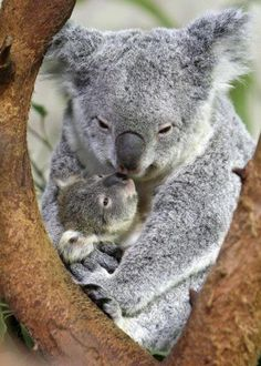 Momma Koala with her precious joey ♥    Females reach maturity at 2 to 3 years of age, males at 3 to 4 years. A healthy female koala can produce one young each year for about 12 years. Gestation is 35 days. A baby koala is referred to as a joey and is hairless, blind, and earless. At birth the j  oey,  crawls into the downward-facing pouch on the mother's belly (which is closed by a drawstring-like muscle that the mother can tighten at will) and attaches itself to one of the two teats.