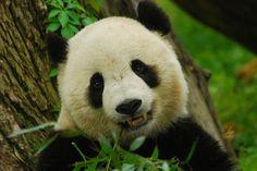 Tai Shan | smile for the camera Tai Shan 0427 cd 225 | Craig Salvas | Flickr