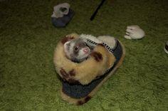 Little snowy - so little so he can sleep in slipper <3