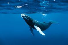 http://www.surfersvillage.com/img/st/Baleine_Roberto_Rinaldi_H3.jpg