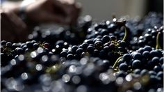 World wine output is expected to hit a four-year low in 2016 after bad weather hit production in France and South America, industry forecasts say.
