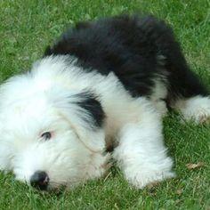 Old English sheep dog puppy - cute