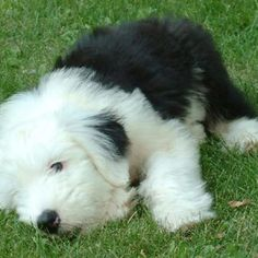 Old English sheep dog puppy - cute