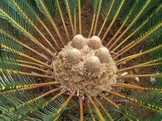 Encephalartos Friderici-guilielmi          White-haired Cycad          Cones emerging                     Withaar Broodboom   4 m   SA no 4