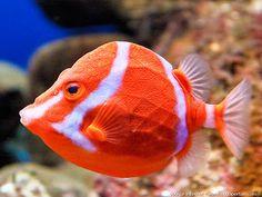 Beautiful boxfish (anoplocapros lenticularis) via aquaportail