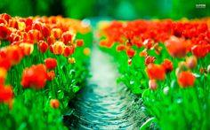 tulips wallpaper for ipad
