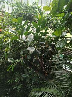 Ficus elastica Ficus Elastica, Plant Leaves, Plants, Plant, Planets