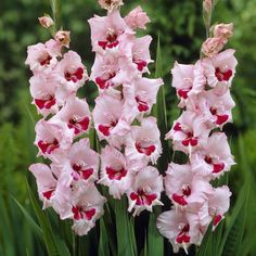 gladiolus seed,(not gladiolus bulbs),gladiolus flower budding rare sword lily seeds Aerobic potted plants