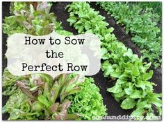 The simplest method to getting your rows perfectly straight for small seeds like lettuce and carrots #vegetablegarden #sowingseeds