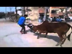 When performing a stunt with your motorcycle, remember not everyone might appreciate it. This Indian guy did not take the cows into account, who would not let him finish his show. I can't bla…
