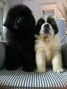 I want a newfoundland too - and throw in A Bernese Mt Dog ! what a threesome that would be. Best Dog For Scared Child. Make Me Smile. Continue with the details at the image link. Best Dog Breeds, Large Dog Breeds, Cute Baby Animals, Animals And Pets, Cute Puppies, Cute Dogs, Labrador Golden, Terra Nova, Newfoundland Puppies