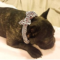 Vera is dressed for success today.  Leopard print collar and bow tie modeled by @garden.state.frenchie . . . . #Frenchbulldog #frenchie #frenchiesofig #instafrenchie #frenchielove #frenchbully #doglife #dogoftheday #squishyfacecrew #thefrenchdog #etsy #Dogfashion #pamperedpets #petaccessories #dogcollar #bowtie #leopard #pinkleopard #leopardprint #bowtiesarecool #bowtiesforgirls