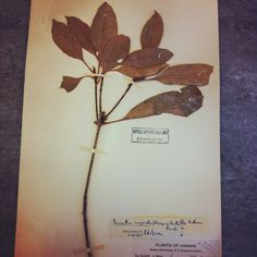 Herbarium specimen of Osmanthus marginatus (family Oleaceae) in the Royal Botanic Garden Edinburgh Herbarium (originally from the New York Botanic Gardens).
