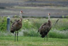 Sand Hill Cranes - Homer, Alaska. The one we saw had their chicks with them.