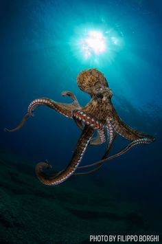 """By FILIPPO BORGHI Giannutri Island, Tuscan Archipelago, Italy """"Curiosity can lead an octopus to interact with the camera instead of fleeing. This Octopus vulgaris approached me and began to touch me. Underwater Creatures, Underwater Life, Ocean Creatures, Underwater Photos, Beautiful Creatures, Animals Beautiful, Scuba Diving Magazine, Vida Animal, Fauna Marina"""