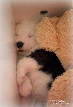 Baby Puppies, Cute Puppies, Cute Dogs, Beautiful Dogs, Animals Beautiful, English Shepherd, Cute Animal Memes, Cute Dog Pictures, Old English Sheepdog