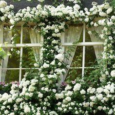 Windows covered in white climbing roses. White Climbing Roses, Climbing Vines, White Roses, White Flowers, Climbing Hydrangea, Beautiful Gardens, Beautiful Flowers, Rare Flowers, Rose House