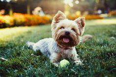 Las enfermedades más frecuentes del yorkshire terrier