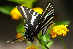 Zebra Swallowtail Butterfly - All That Is Interesting