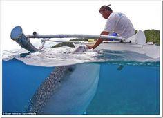 Mergulho com tubarão baleia - Filipinas                                                                                                                                                     Mais