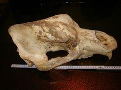 Höhlenbär - Ursus Spelaeus  cave bear Cave Bear, Fossils, Lion Sculpture, Skull, Statue, Art, Art Background, Kunst, Fossil