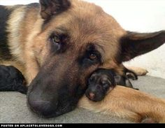 Precious German Shepherd Puppy - A Place to Love Dogs