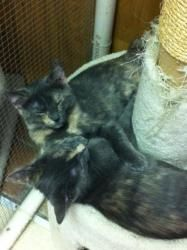 Strudel and Danish is an adoptable Domestic Short Hair Cat in Saint Charles, MO. We are two very sweet girls. We are playful and loving. Come by the shelter to see us. We are open Tues-Fri from 2-6 an...
