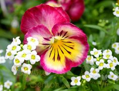 Pink Pansy    i want these...so pretty