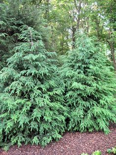 Hemlocks Trees – Great Choice for Any Landscape – How to Plant, Grow and Care