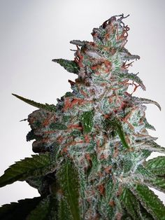 Northern Lights is a pure indica and is one of the most strong and famous cannabis strains. Created at the end of the '80s, NL is a little plant with wide-fingered indica leaves. The taste is pungent with a sweet after taste.  http://www.ministryofcannabis.com/feminized-cannabis-seeds/northern-lights-moc-feminized