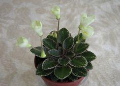 Н-Капелька 2014 (Бердникова) Saintpaulia, Sweet Violets, African Violet, Exotic Plants, Orchids, Succulents, Gardening, Shapes, Blue