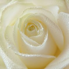 White Pearl Rose