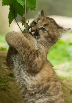 """Tree hugger"" Puma cub ~ By JasonBrownPhotography"