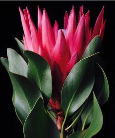 A South African native, Protea. Protea Art, Protea Flower, Macro Flower, Flowers Nature, Exotic Flowers, Amazing Flowers, Beautiful Flowers, Unusual Plants, Rare Plants