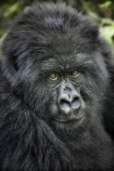 #Gorilla