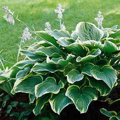 """'Sagae'  Named Hosta of the Year in 2000 by the American Hosta Grower's Association, 'Sagae' displays light blue-green leaves that have a frosted look and are dramatically edged in gold. It's a strong grower with wonderfully thick foliage.  Size: 20""""-tall, 54""""-wide  Zones: 3-9  Slug Resistant: Somewhat  Flowers: Lavender  Year Introduced: 1996"""