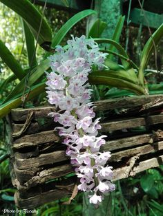 เอื้องไอยเรศ Rhynchostylis retusa Blume Beautiful Flowers, Lily, Rose, Flowers, Tulips, Garden, Orchid Flower, Succulents, Plants