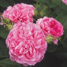 La Ville de Bruxelles - A Damask rose, bred by Vibert. Deep pink, double/full bloom with strong damask fragrance.