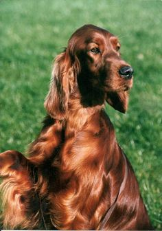Irish Setter dog art portraits, photographs, information and just plain fun. Also see how artist Kline draws his dog art from only words at drawDOGS.com #drawDOGS http://drawdogs.com/product/dog-art/irish-setter-two-dog-portrait-by-stephen-kline/ He also can add your dog's name into the lithograph.