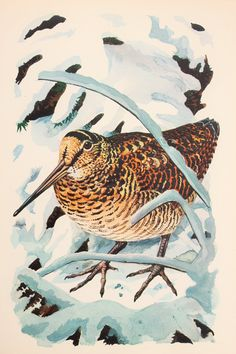 Charles Tunnicliffe, 1940s Original Vintage Colour Bird Print, Game Birds - Woodcock