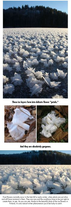 frost phenomenon flowers - Finland
