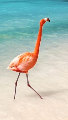 Aruba Flamingos, Flamingo Beach Aruba, Aruba Pictures, Vacation Pictures, Aruba Island, Aruba Resorts, Travel Itinerary Template, Family Destinations, Future Travel