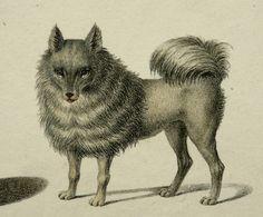 1840 Antique Rare Lithograph Of Dogs Pomeranian Dog Australian Dingo Greyhound 173 Years Old Nice Print 19 5 Antique Dog Prints Pomeranian Dog Dingo Dog