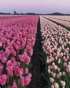 Blossom Garden, Blossom Flower, Beautiful Landscapes, Beautiful Gardens, Tulip Fields Netherlands, Photomontage, Rose Flower Pictures, Flower Video, Vegetable Garden Design