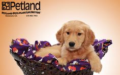 Check out all of our sweet puppies at www.petlandkennesaw.com!#cutepuppies #petlandkennesaw #puppiesofinstagram #petland #petland.kennesaw #puppypins #puppies #dogs #pets