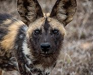 African Wild Dogs – Wildlife Reference Photos for Artists Reference Photos For Artists, African Wild Dog, Wild Dogs, Hand Lettering, Photographs, Wildlife, Animals, Pet Pictures, Animales